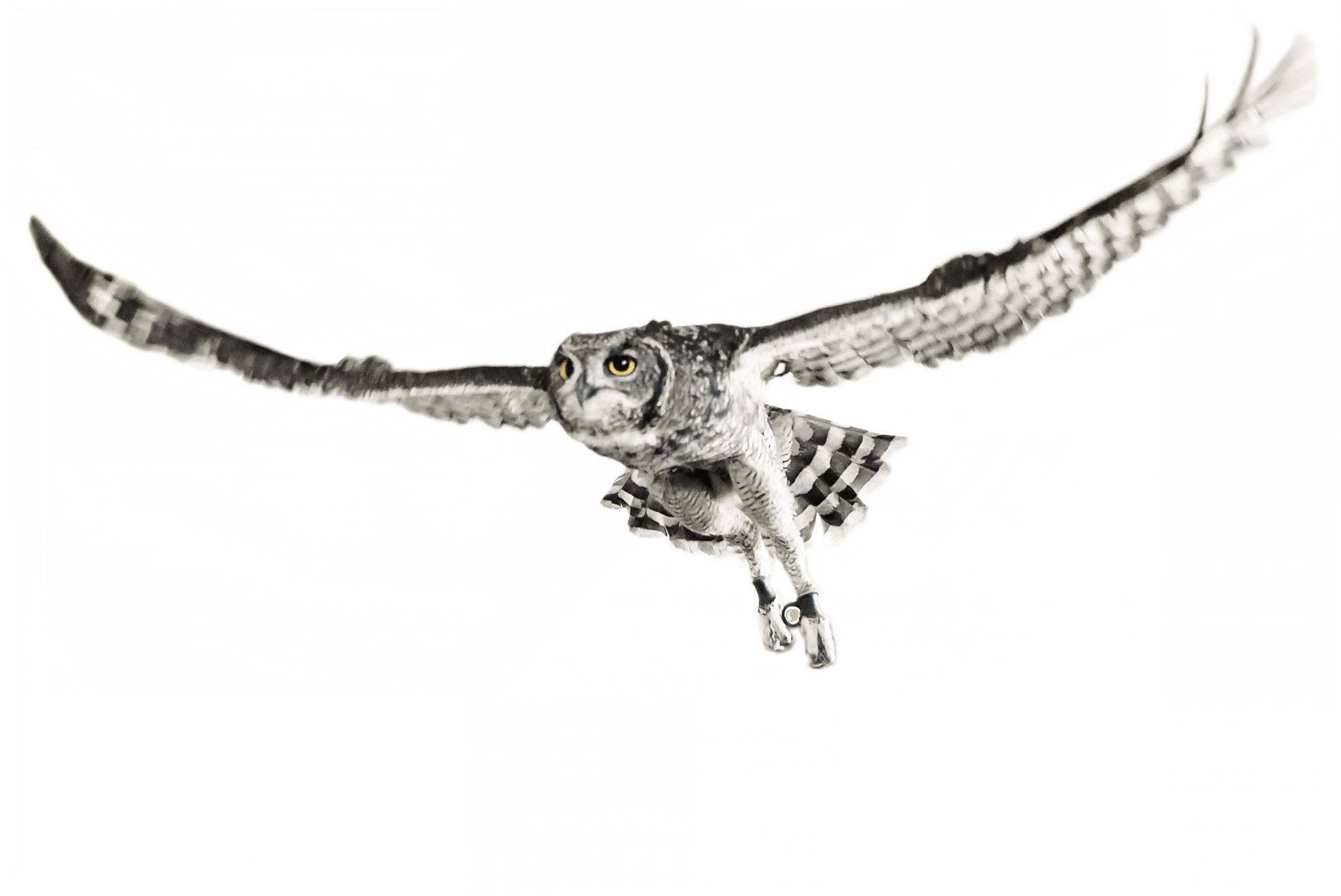 ok_Miss P_Spotted Eagle Owl_Bubo afridanus_kk